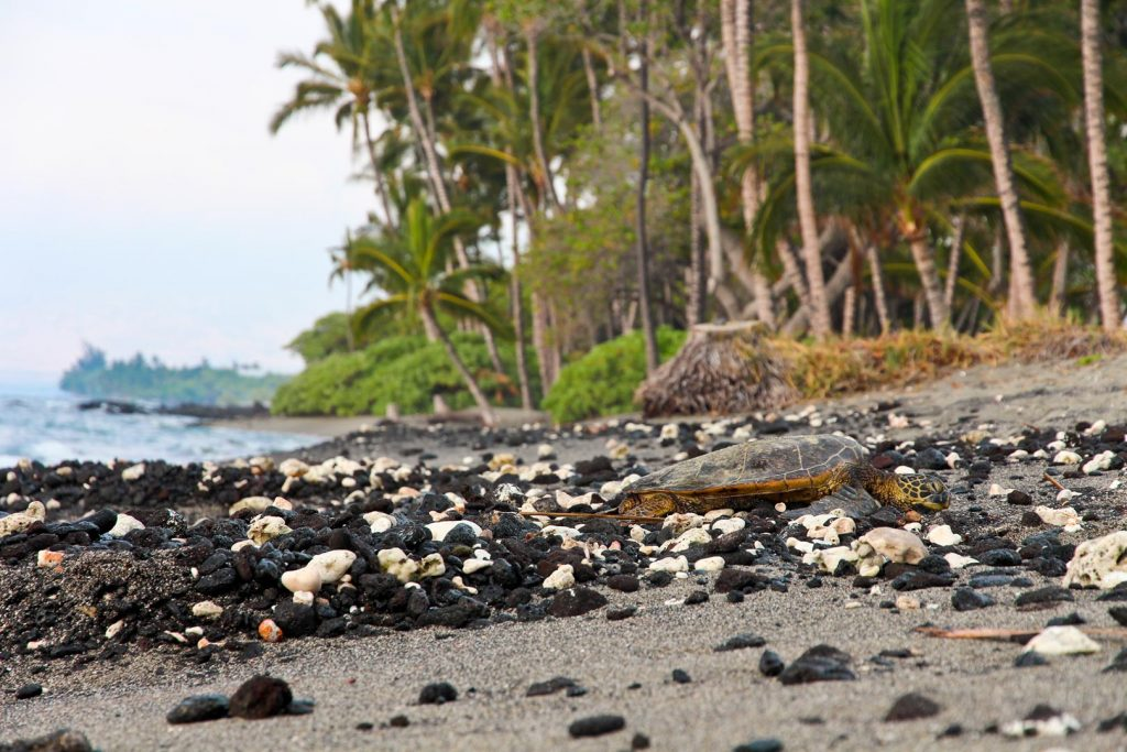 Turtle on the Big Island, Petroglyphs on the Big Island, Which Hawaiian Island? Big Island
