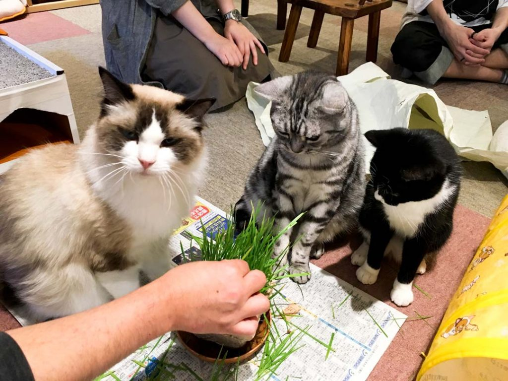 Cats gathered around small pot of grass waiting for their treat