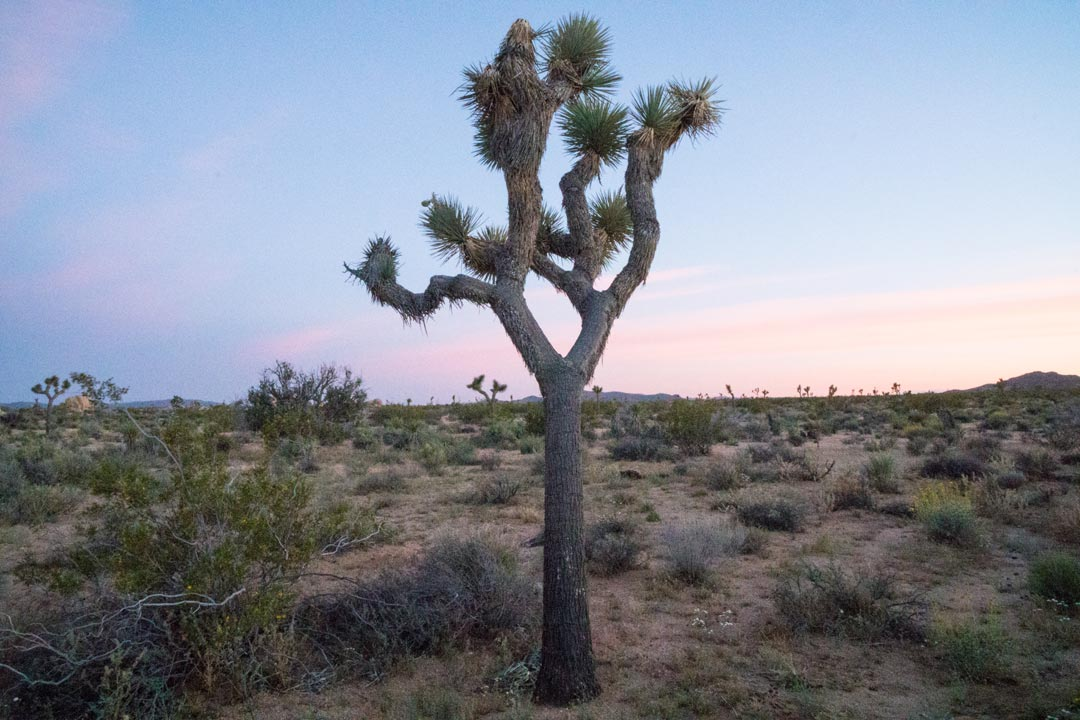 Joshua Tree in field at sunset