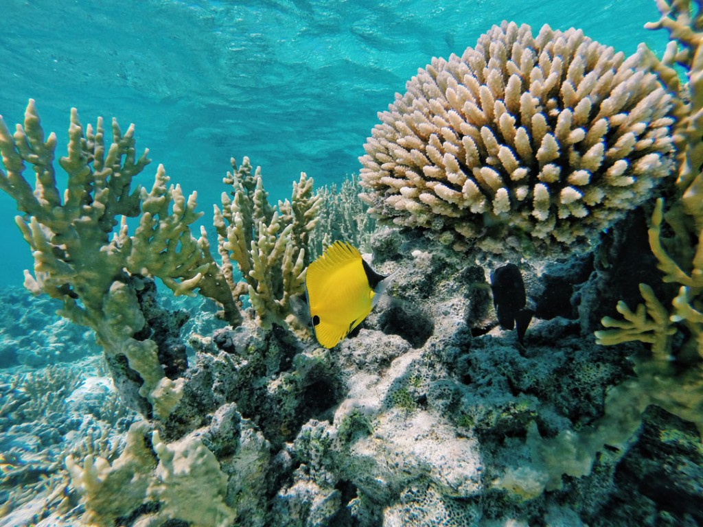 Butterfly fish in coral in Rarotonga lagoon, Cook Islands