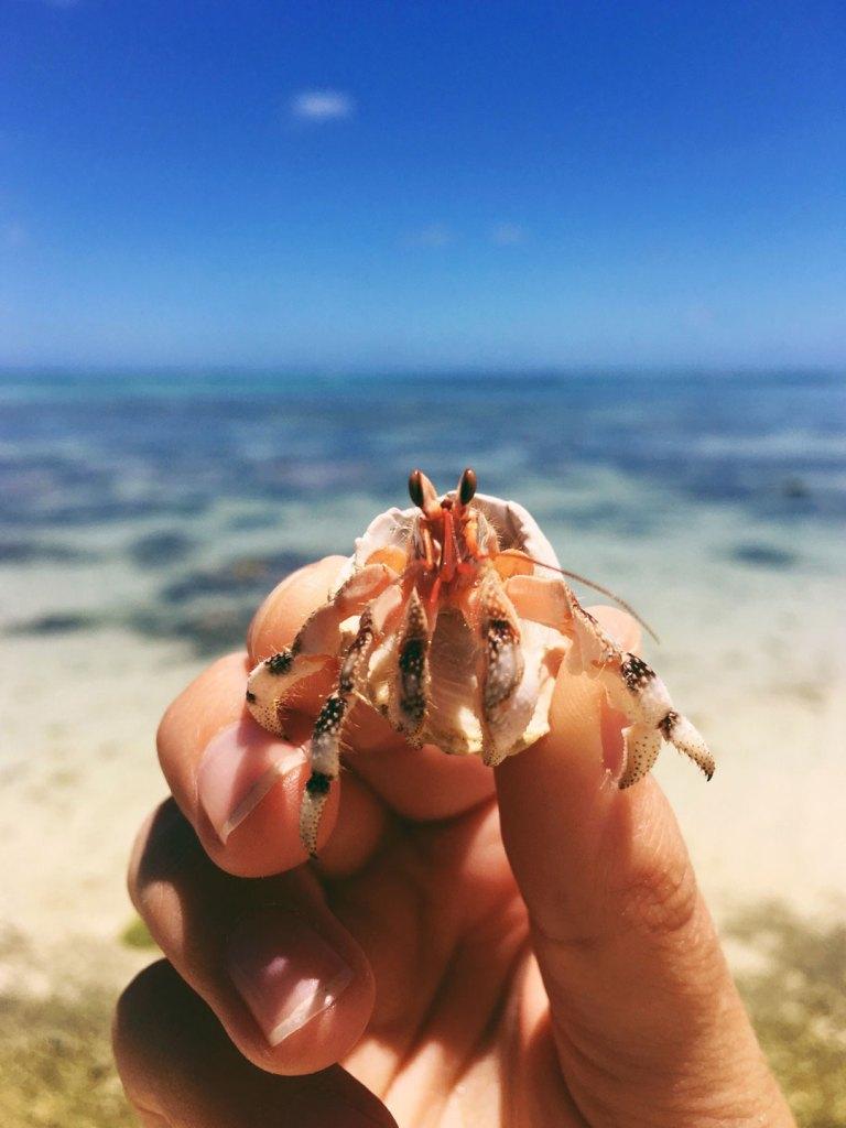 Hermit Crab in Aitutaki in the Cook Islands