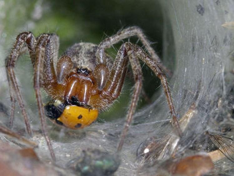 Белок, обнаруженный в яде этих пауков, может защитить мозг человека от последствий инсульта
