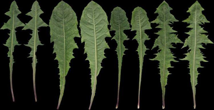 Всего один листик этой травы, которая есть в любом саду, может спасти вашу жизнь за минуту. Но только некоторые люди знают, как использовать его!