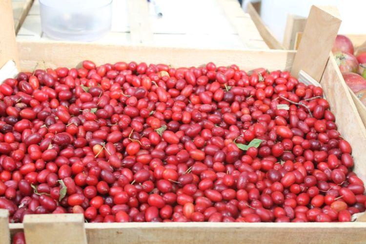 Красные овальные ягоды от простуды, инфекций и геморроя: 7 лечебных свойств кизила