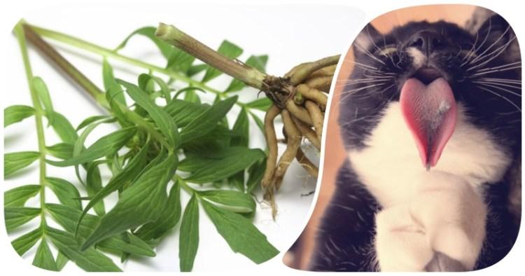 Счастье для людей и котов: корень валерианы против бессонницы, давления и тревожности