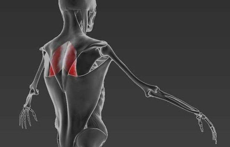 Мышца, отвечающая за отсутствие сутулости: упражняемся, чтобы ходить ровно