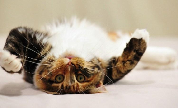 С котом инфаркт не так уж страшен: как четвероногие друзья могут быть неплохими врачами