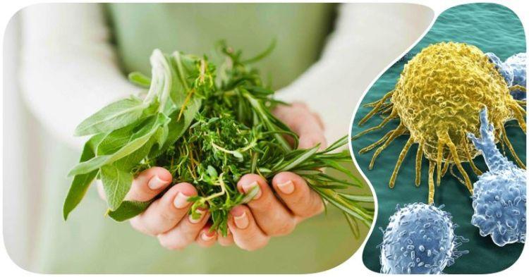 Целебные травы против рака: как сдержать рост раковых клеток силами природы