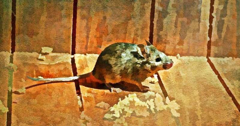 Как избавиться от мышей в доме? Любая мышь способна повредить стены, провода, и даже одежду. Хуже всего, эти вредители могут быть переносчиками болезней. Но если завести кота не получается, помогут природные репелленты - мощное средство от мышей.