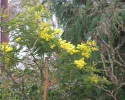 acacia_flowering.jpg