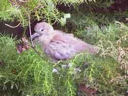 dove_fledgeling.jpg
