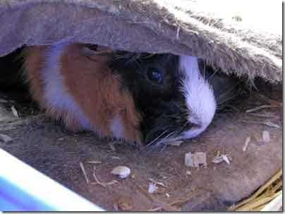 Fizz the Guinea Pig