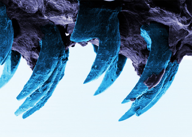 limpet-teeth-university-of-portsmouth