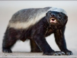 What Wins Honey Badger Or Komodo Dragon Heads Up By Boys Life