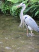 Heron in urban stream, Kyoto