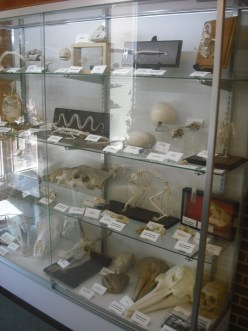 Bone diplay in the McKinney Center