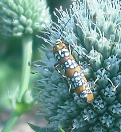 Ailanthus webworm moth on Rattlesnake Master