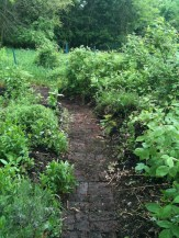 The berry/herb garden...lavender, rasberries, blackberries, sage, Greek oregano...