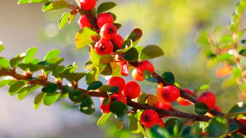 polza-i-vred-plodov-boyaryshnika