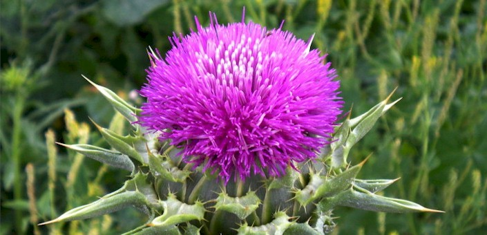 Milk Thistle for Fat Burning and Detoxification