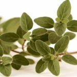Oregano: The Pizza Spice with Amazing Health Benefits