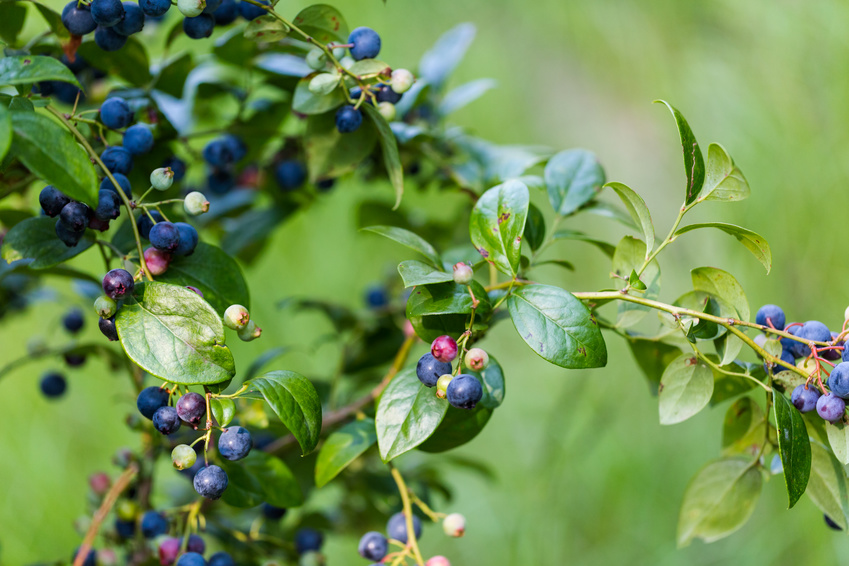 Ripe bluebberies on Southern blueberry farm.