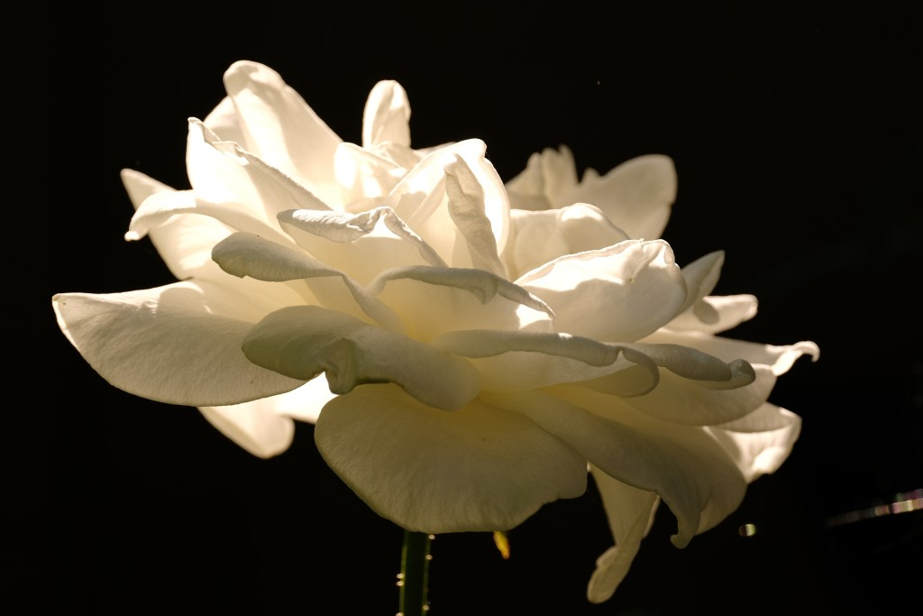 White Rose Oregon 18 August 2020 Copyright Steve J Davis