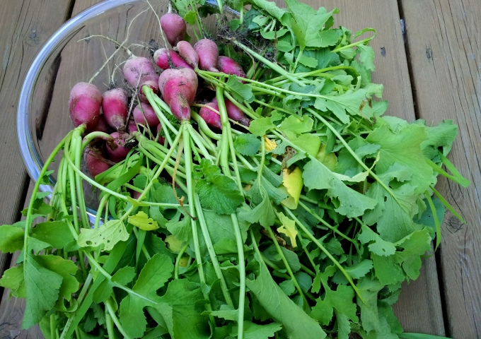 English Breakfast radish harvest