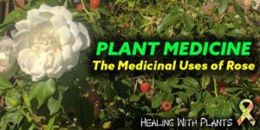 Medicinal uses of rose