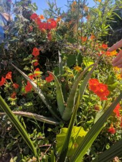 medicinal uses of aloe vera abound