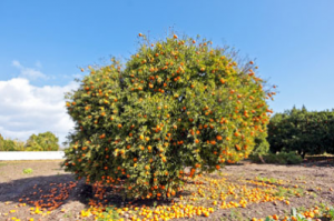 Mature mandarin tree picture.