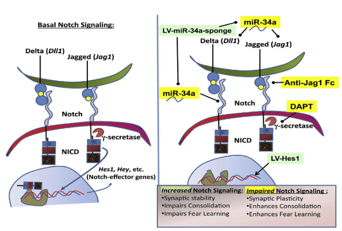 Working Model of miR-34a-Mediated Regulation of Notch Signaling as Being Permissive to Fear Memory Consolidation.  (A) Baseline levels of Notch signaling in the BLA as a consequence of ligand (Jag1 and Dll1) and receptor (Notch 1 and Notch 2) interaction maintains status quo and the baseline state. (B) After training, miR-34a upregulation in the amygdala results in downregulation of components of the Notch pathway and a decrease in Notch signaling, thereby creating a molecular and cellular environment that is permissive to the consolidation of cued fear memory. Green: Inhibiting miR-34a action in the BLA by expressing miR-34a sponges via lentiviruses impairs fear memory consolidation, as does overexpressing Hes1 in the BLA and consequently increasing Notch signaling. Yellow: In contrast, inhibiting Notch signaling by suppressing the activity of g-secretase using systemic DAPT administration or using Anti-Jag1-Fc antibody in the BLA enhances fear memory consolidation.  Ressler et al 2014.