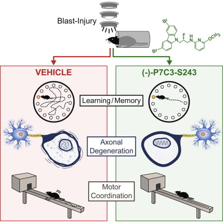 Treatment with (−)-P7C3-S243 after blast injury blocks widespread axonal degeneration.  Treatment with (−)-P7C3-S243 after blast injury preserves learning and memory.  Treatment with (−)-P7C3-S243 after blast injury preserves motor coordination.  Without treatment, neuropsychiatric deficits persist chronically after blast injury.  P7C3 Neuroprotective Chemicals Block Axonal Degeneration and Preserve Function after Traumatic Brain Injury.   Pieper et al 2014.