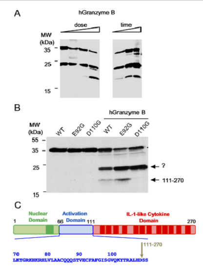 Human full-length IL-33 protein is a substrate for granzyme B. (A) In vitro translated full-length human IL-33 1–270 was incubated with purified human granzyme B (Left) increasing amounts up to 0.3 units; (Right) increased time from 5 min to 1 h.  Proteins were separated by SDS/PAGE and revealed by Western blot with anti–IL-33–Cter mAb 305B. Blots are representative of two independent experiments. (B) Mutation of D110 to glycine in full-length IL-33 inhibits formation of the 18-kDa granzyme B cleavage product.  In vitro translated full-length human IL-33 1–270 or single point mutants IL-33 E92G (E92G) and IL-33 D110G (D110G) were incubated with purified human granzyme B (0.3 units, 1 h at 37 °C). (C) Mapping of the granzyme B cleavage site in the central domain of IL-33 (amino acids 66–111). The sequence surrounding the granzyme B cleavage site is shown.  Central domain of IL-33 is cleaved by mast cell proteases for potent activation of group-2 innate lymphoid cells.  Girard et al 2014.