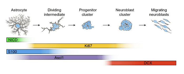 Proposed model of neuroblast production by striatal astrocytes after stroke.  In this model, stroke causes a continuous recruitment of striatal astrocytes that downregulate Notch1 signaling, upregulate Ascl1 and begin to proliferate, gradually losing S100 immunoreactivity and astrocyte morphology as they differentiate and form neuroblasts.  A latent neurogenic program in astrocytes regulated by Notch signaling in the mouse.  Frisen et al 2014.