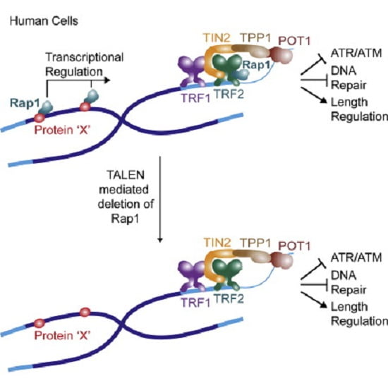 The conserved protein Rap1 functions at telomeres in fungi, protozoa, and vertebrates. Like yeast Rap1, human Rap1 has been implicated in telomere length regulation and repression of nonhomologous end-joining (NHEJ) at telomeres. However, mouse telomeres lacking Rap1 do not succumb to NHEJ. To determine the functions of human Rap1, we generated several transcription activator-like effector nuclease (TALEN)-mediated human cell lines lacking Rap1. Loss of Rap1 did not affect the other components of shelterin, the modification of telomeric histones, the subnuclear position of telomeres, or the 3′ telomeric overhang. Telomeres lacking Rap1 did not show a DNA damage response, NHEJ, or consistent changes in their length, indicating that Rap1 does not have an important function in protection or length regulation of human telomeres. As human Rap1, like its mouse and unicellular orthologs, affects gene expression, we propose that the conservation of Rap1 reflects its role in transcriptional regulation rather than a function at telomeres.  TALEN Gene Knockouts Reveal No Requirement for the Conserved Human Shelterin Protein Rap1 in Telomere Protection and Length Regulation.  Lange et al 2014.
