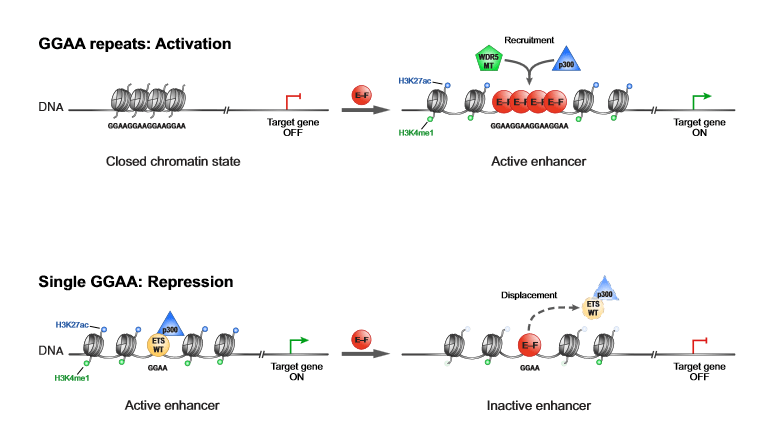 Mechanisms of Enhancer Remodeling Driven by EWS-FLI1.  Schematic illustrating the two distinct chromatin remodeling mechanisms underlying EWS-FLI1-divergent transcriptional activity: enhancer induction and activation (top) with recruitment of WDR5 and p300 at GGAA repeats and enhancer repression (bottom) with displacement of endogenous ETS transcription factors and p300 at single GGAA canonical ETS motifs.  EWS-FLI1 Utilizes Divergent Chromatin Remodeling Mechanisms to Directly Activate or Repress Enhancer Elements in Ewing Sarcoma.  Bernstein et al 2014.