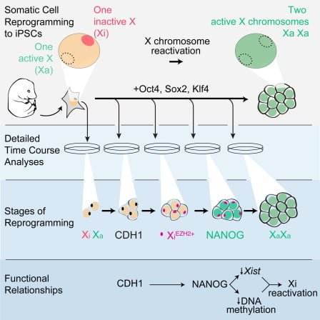 Reprogramming to iPSCs resets the epigenome of somatic cells, including the reversal of X chromosome inactivation. We sought to gain insight into the steps underlying the reprogramming process by examining the means by which reprogramming leads to X chromosome reactivation (XCR). Analyzing single cells in situ, we found that hallmarks of the inactive X (Xi) change sequentially, providing a direct readout of reprogramming progression. Several epigenetic changes on the Xi occur in the inverse order of developmental X inactivation, whereas others are uncoupled from this sequence. Among the latter, DNA methylation has an extraordinary long persistence on the Xi during reprogramming, and, like Xist expression, is erased only after pluripotency genes are activated. Mechanistically, XCR requires both DNA demethylation and Xist silencing, ensuring that only cells undergoing faithful reprogramming initiate XCR. Our study defines the epigenetic state of multiple sequential reprogramming intermediates and establishes a paradigm for studying cell fate transitions during reprogramming.  X Chromosome Reactivation Dynamics Reveal Stages of Reprogramming to Pluripotency.  Plath et al 2014.