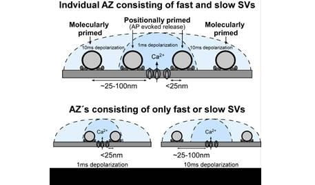 Schematic diagram showing SVs at different priming states located at different distance to the Ca 2+ source. Only the SVs that locate close to the Ca 2+ source can be released by AP. We propose that either a single AZ contains a mixture of fast and slow SVs (A) or that there are individual AZs within the calyx that contain only fast or only slow pool SVs (B). In both cases, we propose that distal SVs are rapidly converted to fast pool SVs for AP-evoked release to maintain signaling at high firing rates.  Credit:  Max Planck Florida Institute for Neuroscience; Dr. Samuel M. Young, Jr.