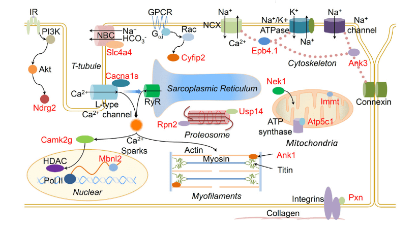 RBFox2 Ablation Induces Alternative Splicing Events in the Opposite Directions during Heart Remodeling.  Highlight of the 15 genes (from red-labeled ones in C) with diverse regulatory functions in cardiomyocyte. IR, insulin receptor.  Repression of the Central Splicing Regulator RBFox2 Is Functionally Linked to Pressure Overload-Induced Heart Failure.  Fu et al 2015.