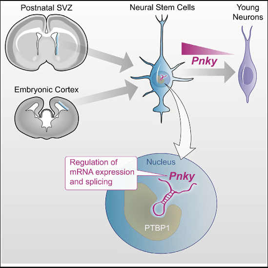 While thousands of long noncoding RNAs (lncRNAs) have been identified, few lncRNAs that control neural stem cell (NSC) behavior are known. Here, we identify Pinky (Pnky) as a neural-specific lncRNA that regulates neurogenesis from NSCs in the embryonic and postnatal brain. In postnatal NSCs, Pnky knockdown potentiates neuronal lineage commitment and expands the transit-amplifying cell population, increasing neuron production several-fold. Pnky is evolutionarily conserved and expressed in NSCs of the developing human brain. In the embryonic mouse cortex, Pnky knockdown increases neuronal differentiation and depletes the NSC population. Pnky interacts with the splicing regulator PTBP1, and PTBP1 knockdown also enhances neurogenesis. In NSCs, Pnky and PTBP1 regulate the expression and alternative splicing of a core set of transcripts that relates to the cellular phenotype. These data thus unveil Pnky as a conserved lncRNA that interacts with a key RNA processing factor and regulates neurogenesis from embryonic and postnatal NSC populations.  The Long Noncoding RNA Pnky Regulates Neuronal Differentiation of Embryonic and Postnatal Neural Stem Cells.  Lim et al 2015.