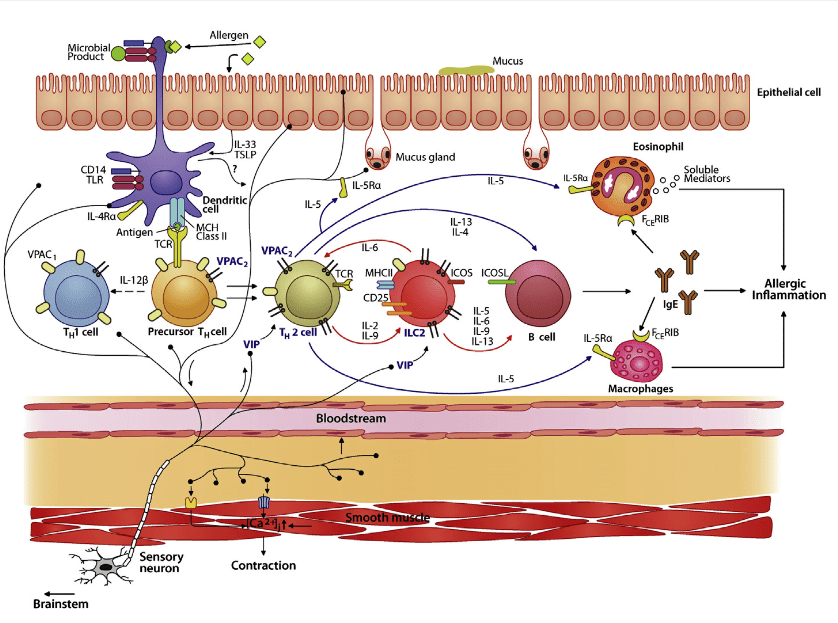 Model of Nociceptor Involvement in Type 2 Inflammation.   During allergen exposure, lung afferents are activated by dendritic and epithelial cells. Dendritic cells also polarize precursor Th cells into Th2cells. Activated nociceptors release VIP, which stimulates lung-resident ILC2 and newly differentiated Th2 cells via the VPAC2 receptor. Type 2 cytokines, including IL-5 and IL-13, are released by ILC2 and Th2 cells and initiate the chemotaxis and activation of eosinophils and macrophages, IgE secretion by B cells, mucus production by goblet cells, and smooth muscle contraction, culminating in allergic inflammation and bronchial hyper responsiveness. IL-5 activates nociceptors to trigger VIP and other neuropeptide release, leading to additional IL-5 production. Scheme inspired by Licona-Limo ́n et al. (2013) and Vercelli (2008).  Silencing Nociceptor Neurons Reduces Allergic Airway Inflammation.  Woolf et al 2015.