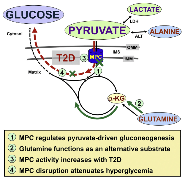 Gluconeogenesis is critical for maintenance of euglycemia during fasting. Elevated gluconeogenesis during type 2 diabetes (T2D) contributes to chronic hyperglycemia. Pyruvate is a major gluconeogenic substrate and requires import into the mitochondrial matrix for channeling into gluconeogenesis. Here, we demonstrate that the mitochondrial pyruvate carrier (MPC) comprising the Mpc1 and Mpc2 proteins is required for efficient regulation of hepatic gluconeogenesis. Liver-specific deletion of Mpc1 abolished hepatic MPC activity and markedly decreased pyruvate-driven gluconeogenesis and TCA cycle flux. Loss of MPC activity induced adaptive utilization of glutamine and increased urea cycle activity. Diet-induced obesity increased hepatic MPC expression and activity. Constitutive Mpc1 deletion attenuated the development of hyperglycemia induced by a high-fat diet. Acute, virally mediated Mpc1 deletion after diet-induced obesity decreased hyperglycemia and improved glucose tolerance. We conclude that the MPC is required for efficient regulation of gluconeogenesis and that the MPC contributes to the elevated gluconeogenesis and hyperglycemia in T2D.  Hepatic Mitochondrial Pyruvate Carrier 1 Is Required for Efficient Regulation of Gluconeogenesis and Whole-Body Glucose Homeostasis.  Taylor et al 2015.