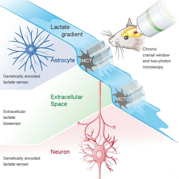 Investigating lactate dynamics in brain tissue is challenging, partly because in vivo data at cellular resolution are not available. We monitored lactate in cortical astrocytes and neurons of mice using the genetically encoded FRET sensor Laconic in combination with two-photon microscopy. An intravenous lactate injection rapidly increased the Laconic signal in both astrocytes and neurons, demonstrating high lactate permeability across tissue. The signal increase was significantly smaller in astrocytes, pointing to higher basal lactate levels in these cells, confirmed by a one-point calibration protocol. Trans-acceleration of the monocarboxylate transporter with pyruvate was able to reduce intracellular lactate in astrocytes but not in neurons. Collectively, these data provide in vivo evidence for a lactate gradient from astrocytes to neurons. This gradient is a prerequisite for a carrier-mediated lactate flux from astrocytes to neurons and thus supports the astrocyte-neuron lactate shuttle model, in which astrocyte-derived lactate acts as an energy substrate for neurons.  In Vivo Evidence for a Lactate Gradient from Astrocytes to Neurons.  Weber et al 2015.
