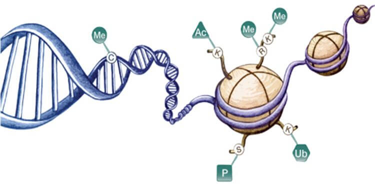 Epigenetic mechanisms involved in regulation of gene expression. Cytosine residues within DNA can be methylated, and lysine and arginine residues of histone proteins can be modified. Me = methylation, Ac = acetylation, P = phosphorylation, Ub = ubiquitination.