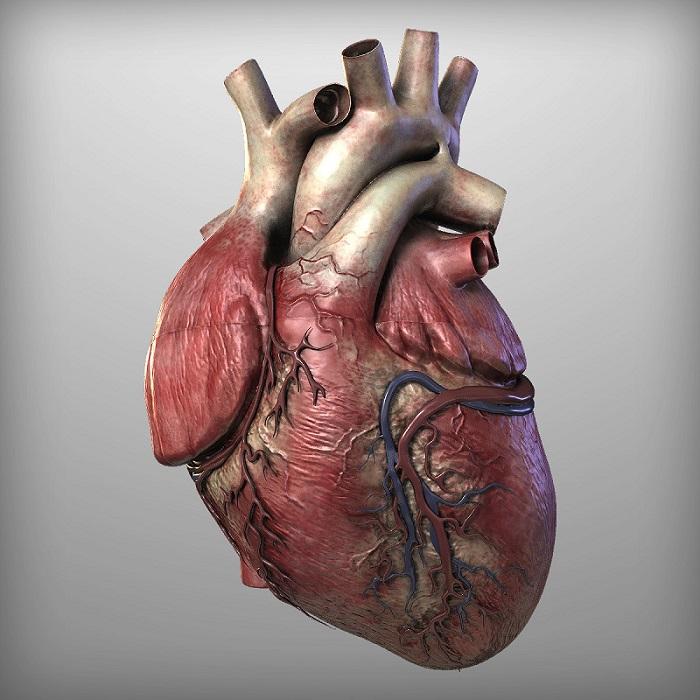 Human Heart by hobstob.  © TurboSquid 2016.