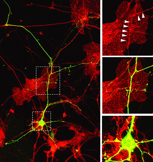 University of Iowa biologists have shown that neurons need exact gene matches to get the signal to grow dendrites, the branches in brain cells that help pass messages from the brain throughout the body. Left: An image of mouse neurons with developed, functioning dendrites (yellow and green), surrounded by other cells called astrocytes (in red). Lower right: A single neuron's nucleus (yellow spot) with dendrites (yellow tendrils). Upper right: Arrows showing sites of contact between a neuron's cell surface and an astrocyte. Middle right: the enlarged area of a neuron-dendritic network. Credit: Joshua Weiner lab/University of Iowa.