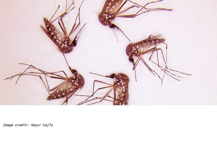 researchers led by Virginia Tech identifies a single gene, known as Nix, capable of converting female A. aegypti mosquitoes into fertile male mosquitoes, as well as pinpointing the gene needed for male mosquitoes to fly. The team states the Nix gene has great potential for developing vector control techniques to reduce A. aegypti numbers through female-to-male gender conversion.