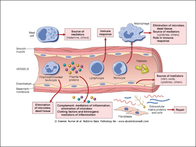 inflammation-role-and-types-6-638