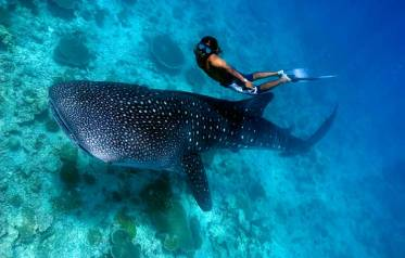 Whale Shark Encounter (by labbrostranstours.com)